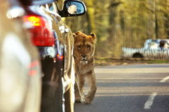Lejon i LongLeat Arkivfoto