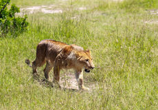 Lejon i Maasai Mara, Kenya Arkivbilder