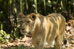 Lejon i safari Arkivfoton