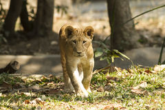 Lejon i safari Royaltyfri Fotografi