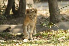 Lejon i safari Fotografering för Bildbyråer
