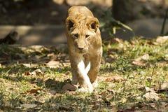 Lejon i safari Arkivbild