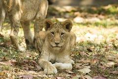 Lejon i safari Arkivbilder