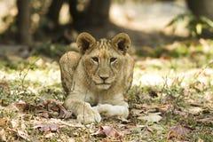 Lejon i safari Royaltyfria Foton