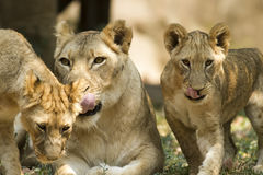Lejon i safari Royaltyfri Bild