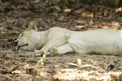 Lejon i safari Arkivfoto