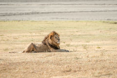 Lejon i Serengeti Arkivbild