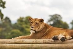 Lejon i Skottland arkivbilder