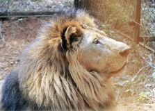 Lejon i zoo Royaltyfri Fotografi