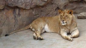 Lejon i zoo Arkivfoto