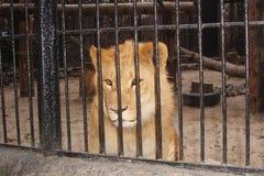 Lejon i zoo Arkivbild
