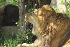 Lejon i zoo, lös katt Royaltyfri Foto