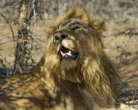 Lejon - Kruger nationalpark som parar ihop par Royaltyfria Bilder