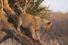 Lejon Madikwe lekreserv Arkivfoto