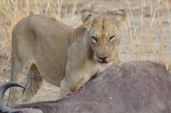 Lejon med ett byte Arkivfoto