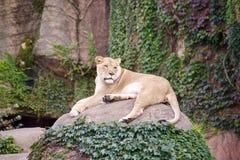 Lejon med ingen Mane Lioness arkivfoton