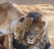 Lejon med lejoninnan Royaltyfri Foto