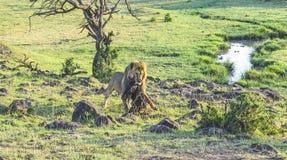Lejon med rovet i masaien Mara National Park Royaltyfri Foto