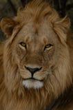 Lejon med stor man Fotografering för Bildbyråer
