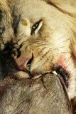 Lejon med vårtsvinbyte Royaltyfria Bilder