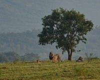 Lejon near trädet på den Entabeni naturvården i Sydafrika Royaltyfria Bilder