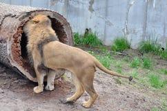 Lejon och en journal Fotografering för Bildbyråer