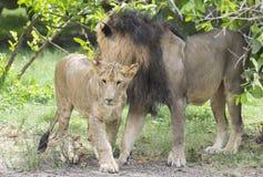 Lejon och gröngöling Arkivfoto