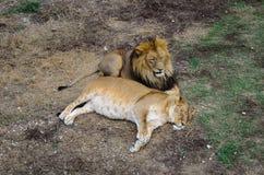 Lejon och lejoninna Arkivfoto