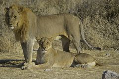 Lejon och lejoninna (PantheraLejonet) Arkivbild
