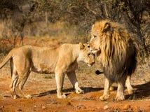 Lejon och lejoninna som tillsammans står Fotografering för Bildbyråer