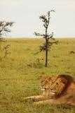 Lejon och lejoninna som vilar på soluppgång Arkivbild