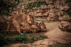 Lejon- och lejoninnalekar arkivbilder