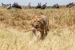 Lejon - Okavango delta - Moremi N P arkivfoto