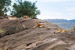 Lejon på afrikansk savannah i masaien mara Royaltyfri Foto