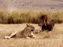 Lejon på bröllopsresa Arkivbilder