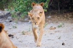 Lejon på en promenad Arkivfoto