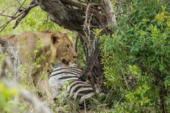 Lejon på ett byte Sydafrika Royaltyfria Foton