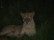 Lejon på natten arkivfoto