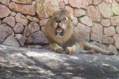 Lejon på Haifa Zoo Arkivbilder