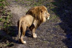 Lejon på kringstrykandet Arkivbild