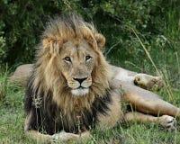 Lejon: Panthera leo som framåt stirrar, Arkivfoto
