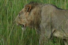 Lejon: Panthera leo som går till och med högväxt gräs , Royaltyfri Fotografi