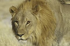 Lejon (PantheraLejonet) Arkivbilder