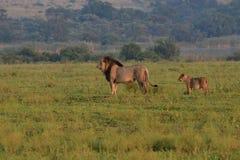 Lejon: Pantheraleo stor man som går i ett fält med att följa för gröngöling Arkivbild