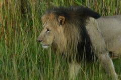Lejon: Pantheraleo stor man som går till och med högväxt gräs Royaltyfri Fotografi