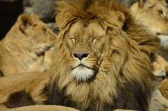 Lejon solbadar Fotografering för Bildbyråer