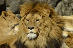 Lejon solbadar Royaltyfri Bild