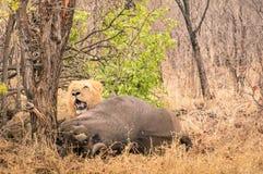 Lejon som är klart att äta en buffel, når att ha jagat i busketräna royaltyfri foto