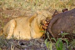 Lejon som äter en vattenbuffel royaltyfri fotografi