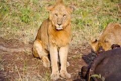 Lejon som äter en vattenbuffel arkivfoto
